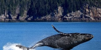 baleias jubarte para reprodução